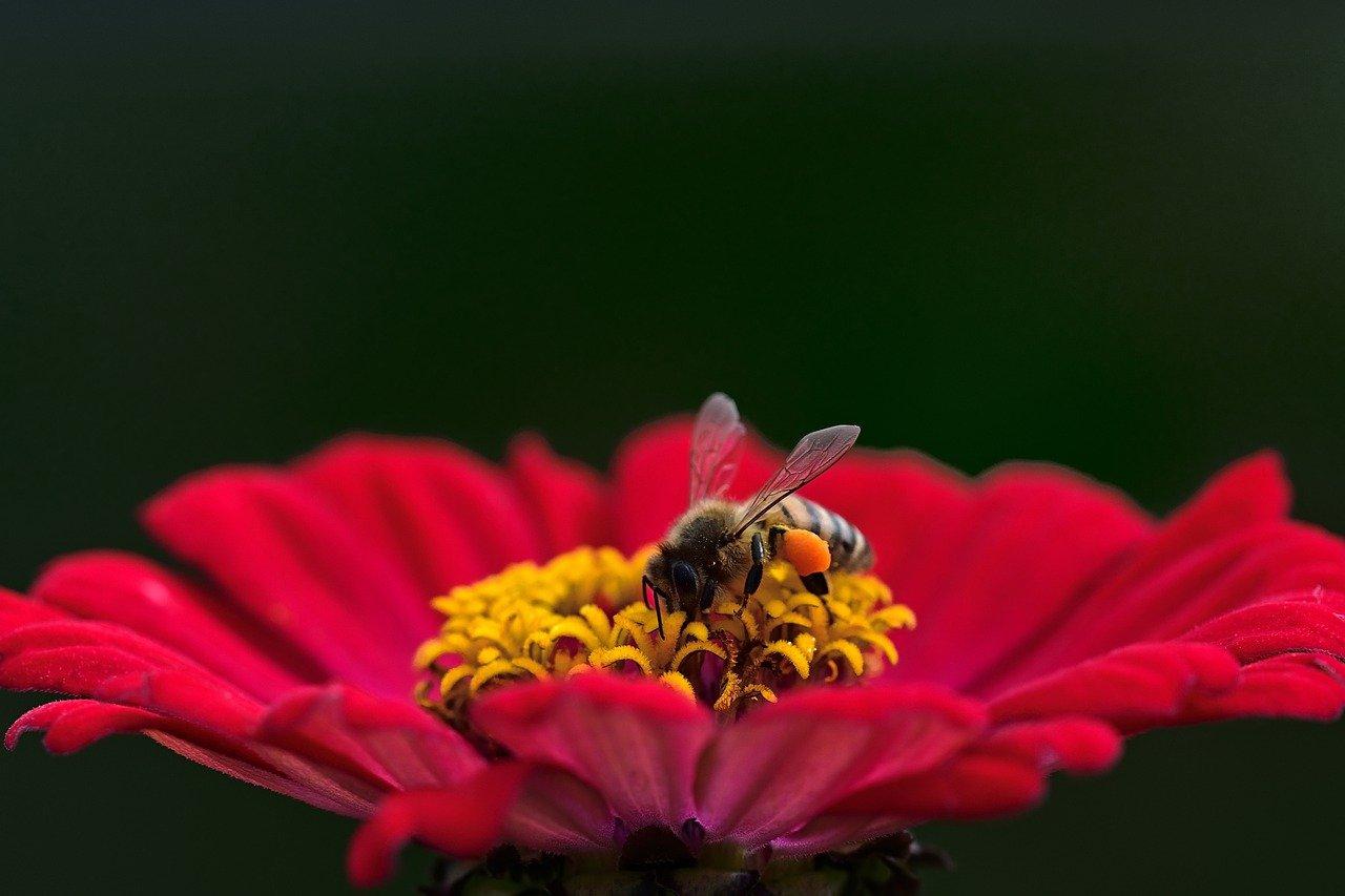 Biene auf roter Blume sammelt Honig Natur