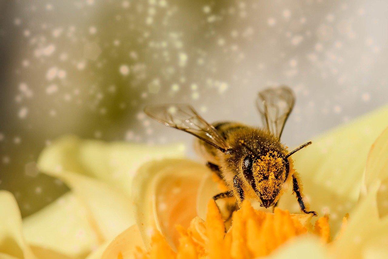 Honigbiene landet auf Blume sammelt Honig